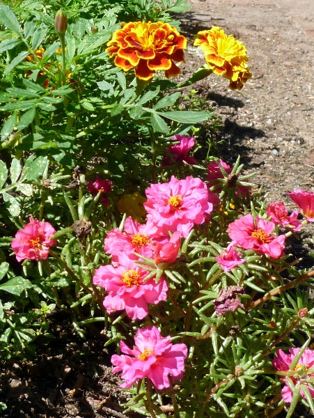 marigolds and portulaca on a hot day