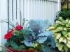 pelargonium, nasturtium, oregano, cabbage, dayliily